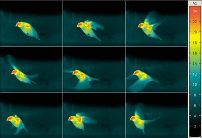 InfraTec ImageIR High-speed thermal image of a flying bird.